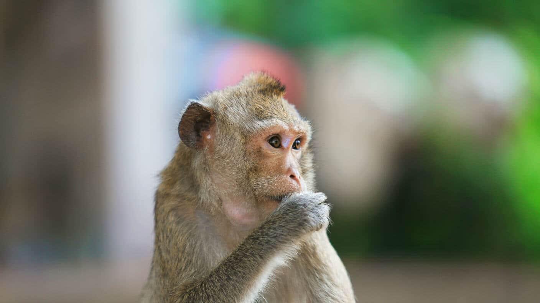 mała-małpa